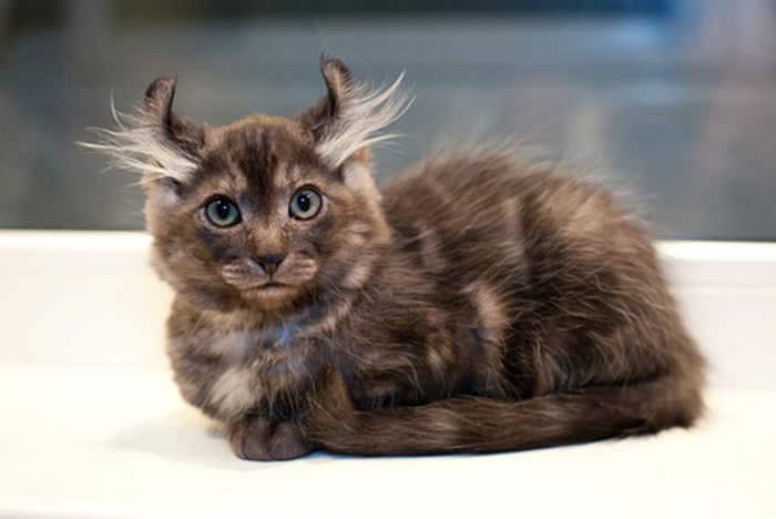 ТОП-10 самых редких и дорогих кошек в мире – удивительные создания…