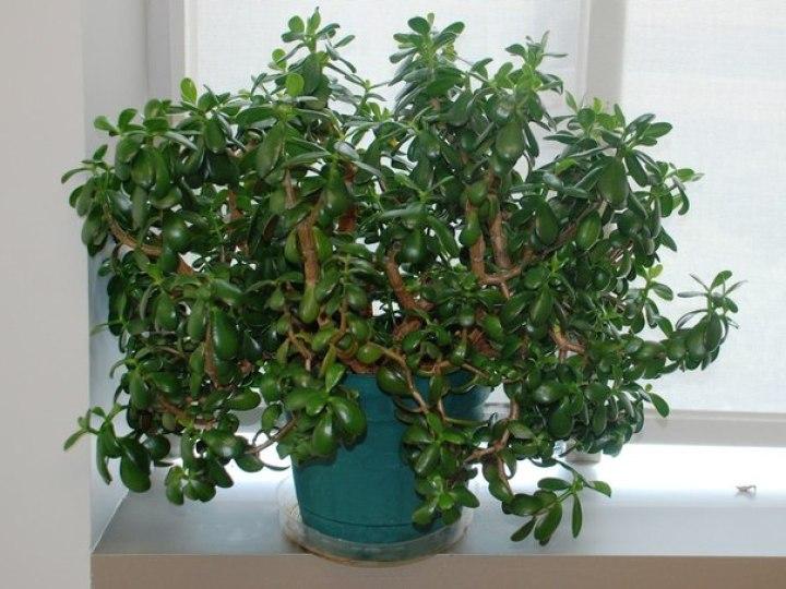 Интересная и полезная информация для тех, кто растит дома «денежное дерево»